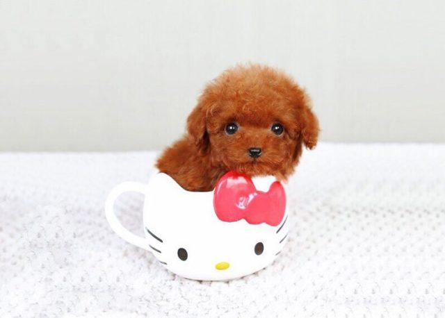 15 Of The World's Smallest Dog Breeds That Are Bound To ...