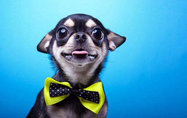 15 World's Smallest Dog Breeds To Steal Your Heart : Daily ...